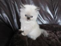 I am a small persian breeder for the past five years in