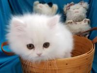 This adorable, playful white Persian male kitten is for