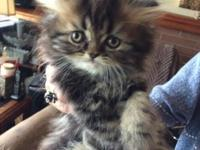 Precious Persian kittens ready for a new home..Please