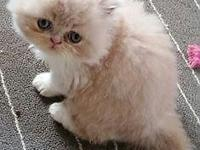 3 MALE PERSIAN KITTENS 3 DOLL FACED I CREAM AND WHTE 1
