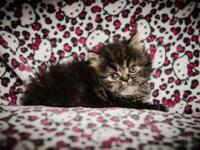 I have 2 female persian kittens born on 7-30-15 that