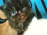 I have 3 CFA registered kittens from good bloodlines,