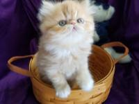 Gorgeous Female Red Tabby Persians for sale. Ready to