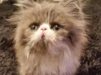 CFA Registered Persian kittens all are males. They will