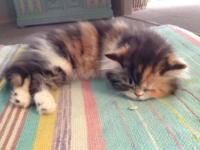 For sale is the last two Persian kittens we will be