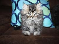 I have a lovely litter of Persian/Himalayans for sale.