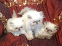Amazing Family Raised Purebred Persian Himalayan