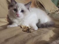 Gorgeous Ragdoll Kittens: 1 kitten left! Grand Champion