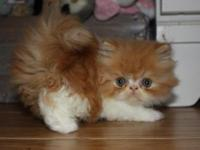 CFA Registered Red & White Female Persian Kitten. VERY
