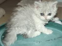 CFA Registered Selkirk Rex Kittens. The will come with
