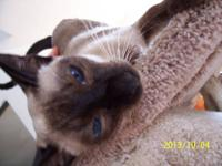 Beautiful Seal Point Siamese spayed female available to
