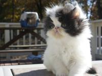 CFA Registered Male Black & White Van Persian