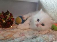 We have three CFA registered white Persian kittens (9