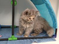 Cfa registered Persian kittens current on vaccinations