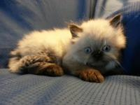 CFA registered Female Himalayan Persian Kitten. She has