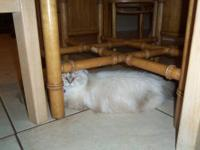 I have a beautiful CFA registered female Himalayan