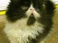 Gorgeous Show Quality CFA Persian kittens. They are 8