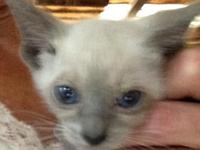 For sale, 2 beautiful / female Siamese kittens.  8