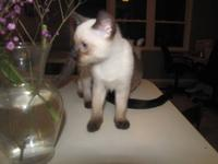 12 weeks, 3 Females, Seal Point Siamese, Traditional