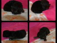 CFA signed up and PKD unfavorable Persian kittens, 2