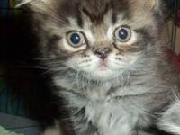 REDUCED Persian Kittens ,1 Tecup F 2 Micro Teacup F for Sale in ...