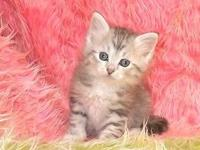 This is our light silver spotted tabby girl Diamond out