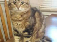 This is our golden classic tabby girl Anya. She is a