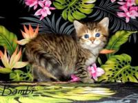 We have male and female Siberian Forest Kittens in a