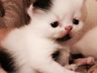 Five 3-week old Persian babies for reservations. CFA