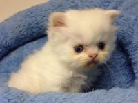 White Exotic Longhair Persian male available. Loving