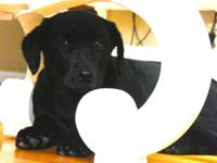 Sable is a lovely black Labrador with big eyes, large