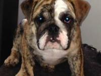 For Sale: 1-female is still available brindle - ($1800