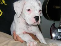Beautiful akc register ch bloodline puppies 2 white