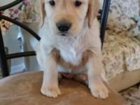 beautiful male akc golden retriever puppy available for