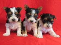 3 Male Parti yorkies that carry blonde/gold. Great