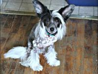 1 year old HHL black/white Chinese Crested male.