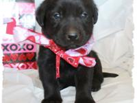 Attractive Champ sired black labrador young puppies.