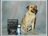 AKC Champion Sired Labrador Retriever puppies. Champion