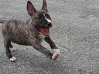 Silver brindle male purebred miniature bull terrier