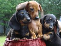 $250 - $350 Red miniature dachshund pup is 12 weeks