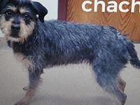 Chacha's story Chacha is an adult dog. She is a terrier