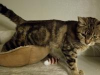 Chaka Chaka is a classic tabby with both gray and brown