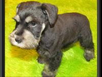 AKC Miniature Schnauzers Available 2 Black & Silver