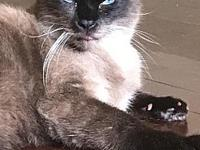 My story Champ is a sweet, silly, curious Siamese cat