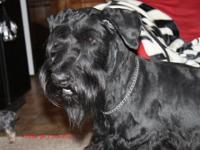 AKC Giant Schnauzer puppies- Looking for a new homes