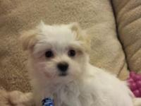 Cute Purebred Maltese Puppy, Boy, Very Smart and