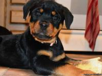 Puppies FOR SALE $1,500.  AKC Multi-Champion and
