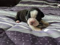 We have a beautiful litter of 5 AKC Boston terrier