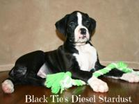 4 AKC Boxer puppies available now! The litter was born