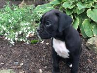AKC black boxer puppy, champion bloodline. Maya is a